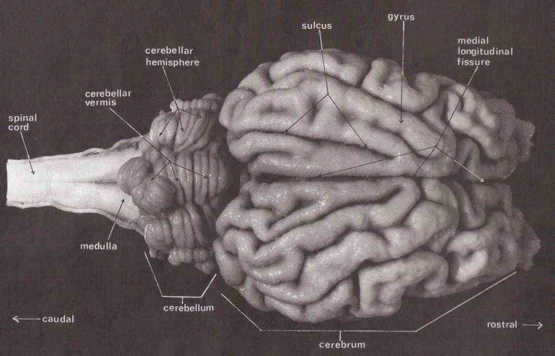 Skin sheep brain is exposed and each of structures are labeled cerebellum at transverse fissure can reveal some internal