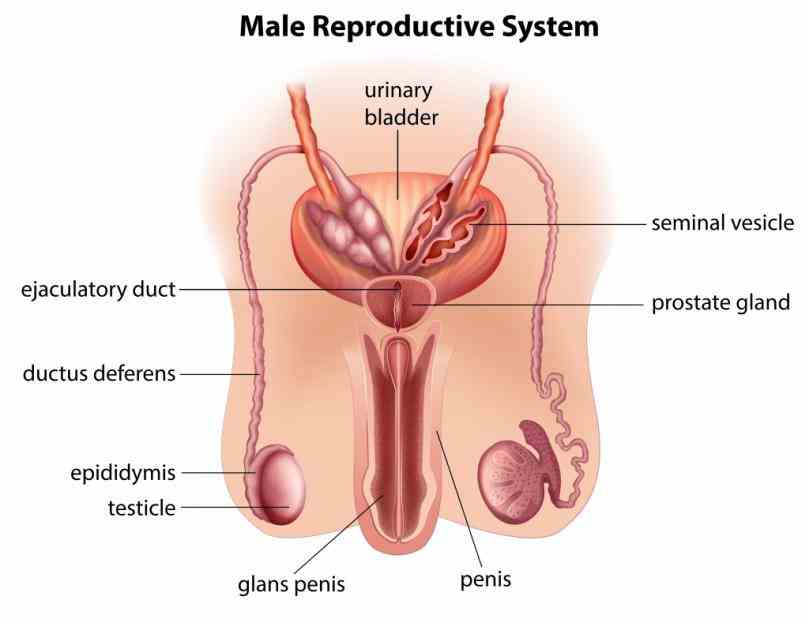 Testicles testicle or testis is male gonad in animals like ovaries to which they are many anatomical features of