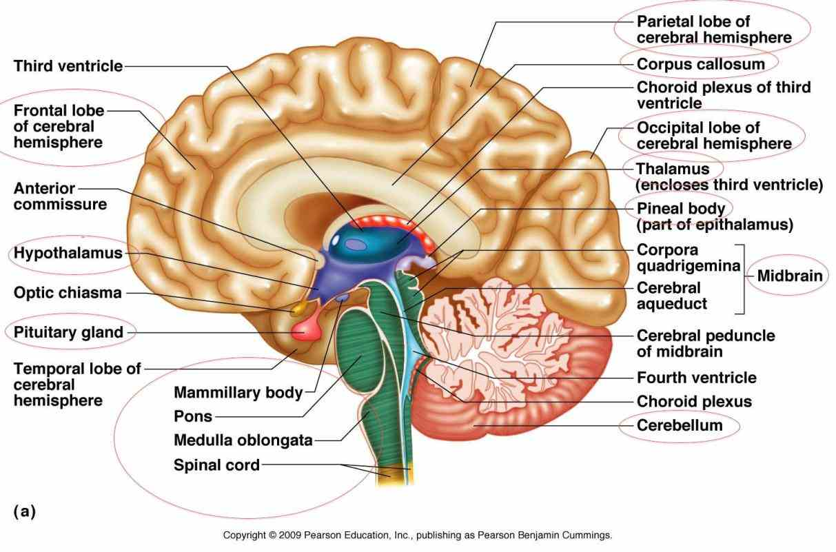 The Brain exercises memory help alzheimers information brainwaves books puzzles bragdon gamon research and concentration brain  again Labeled Areas