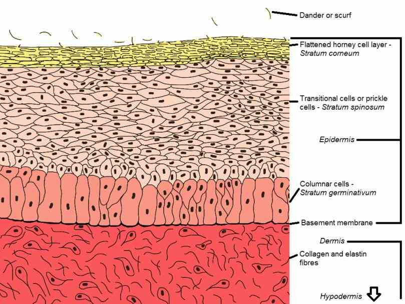 The Outer Layer Of The Skin jul it serves as a protective barrier that prevents internal tissues from exposure