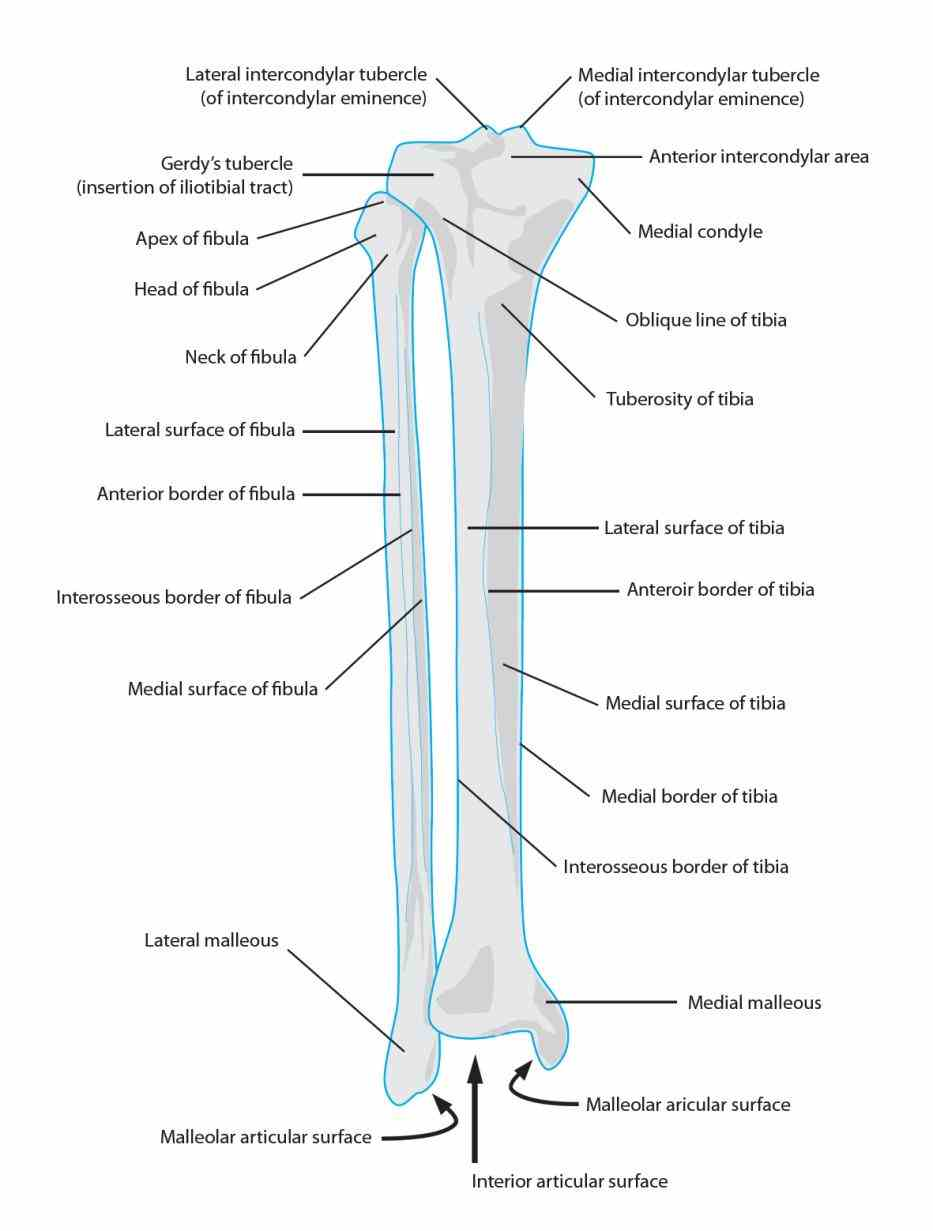 Anatomy Tibia And Fibula Diagram