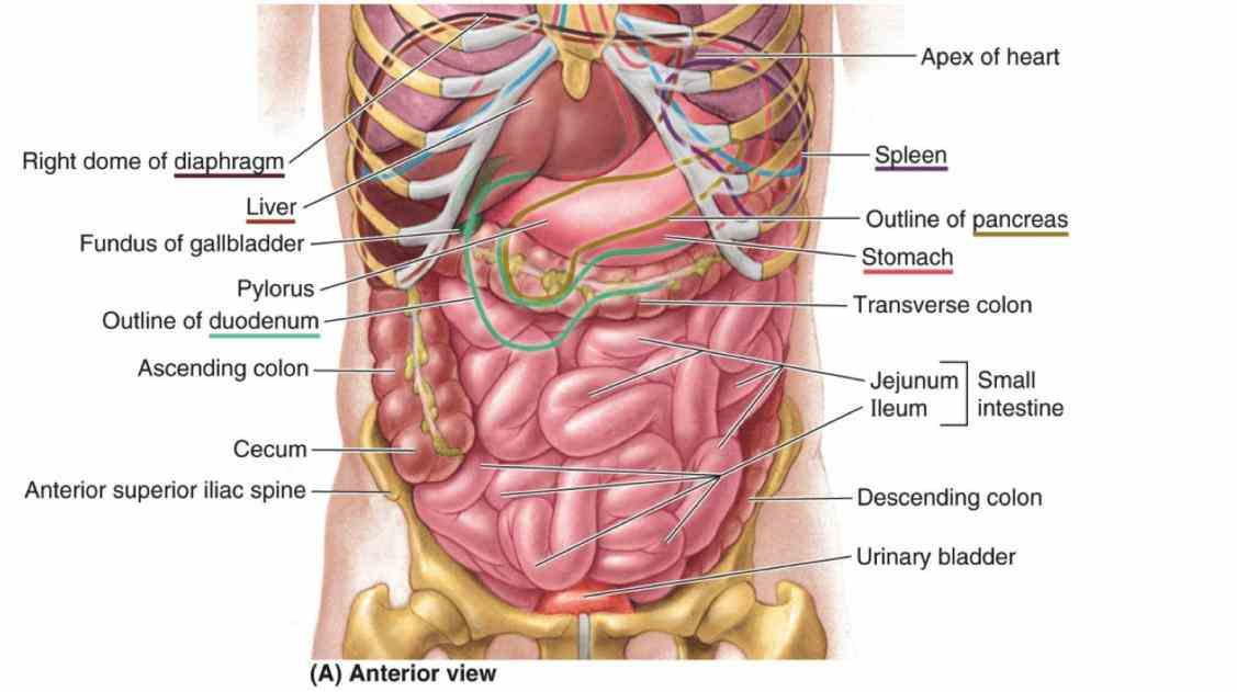 Abdominal Cavity Anatomy Pictures Wallpapers