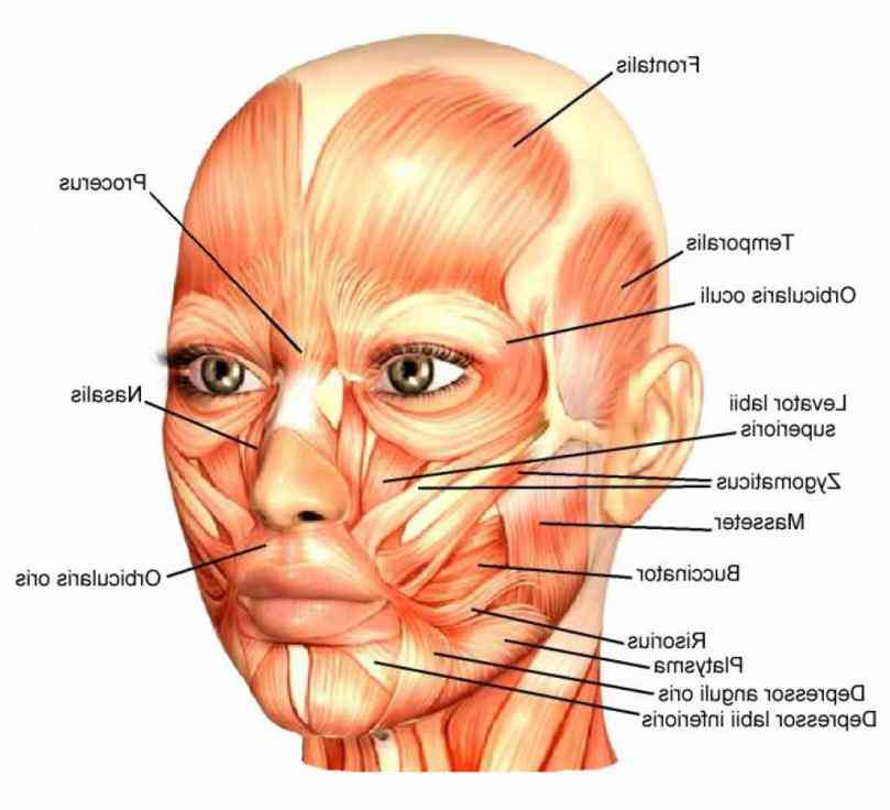Labeling Facial Muscles Pictures Wallpapers