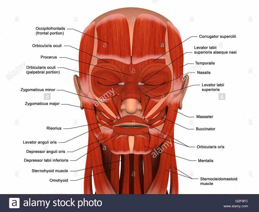 pictures of facial muscles