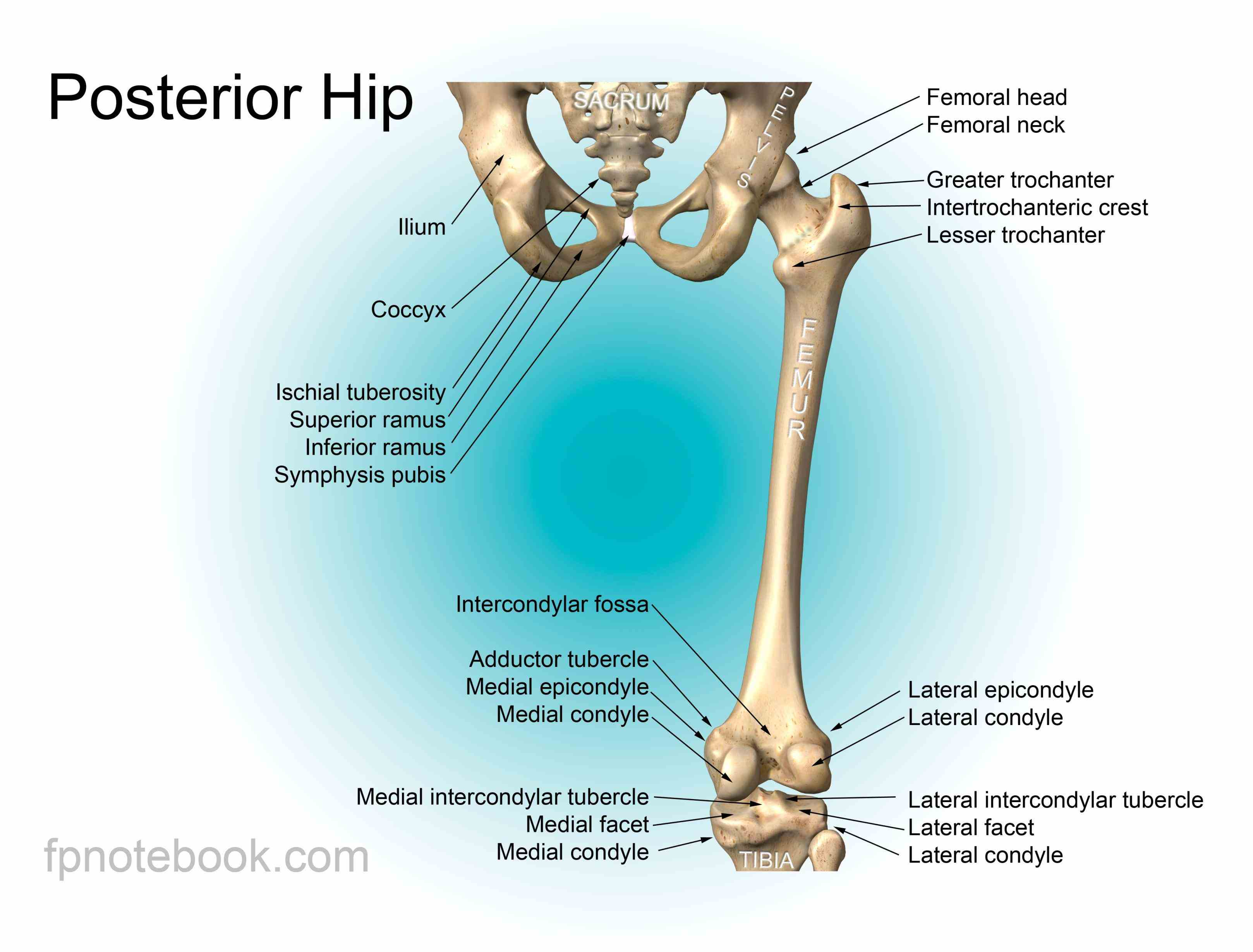 Anatomy Of Hip And Pelvis Pictures Wallpapers