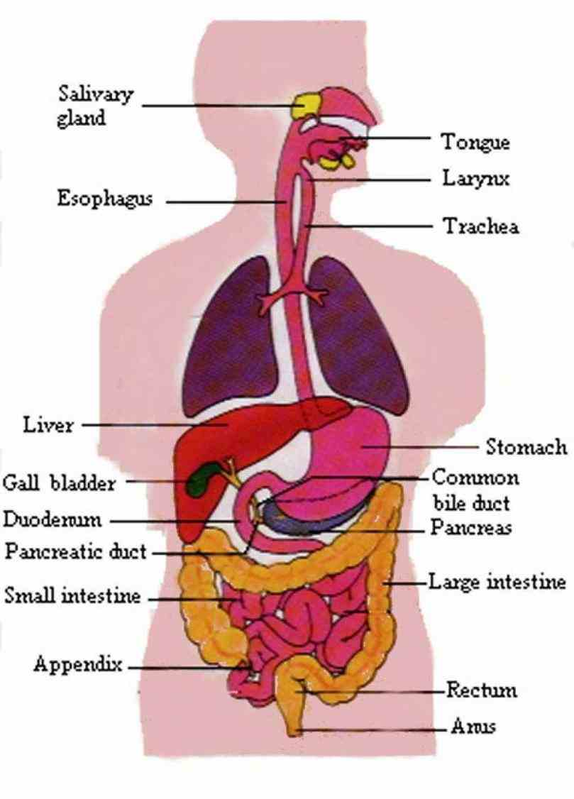Picture Of Human Body Digestive System Pictures Wallpapers