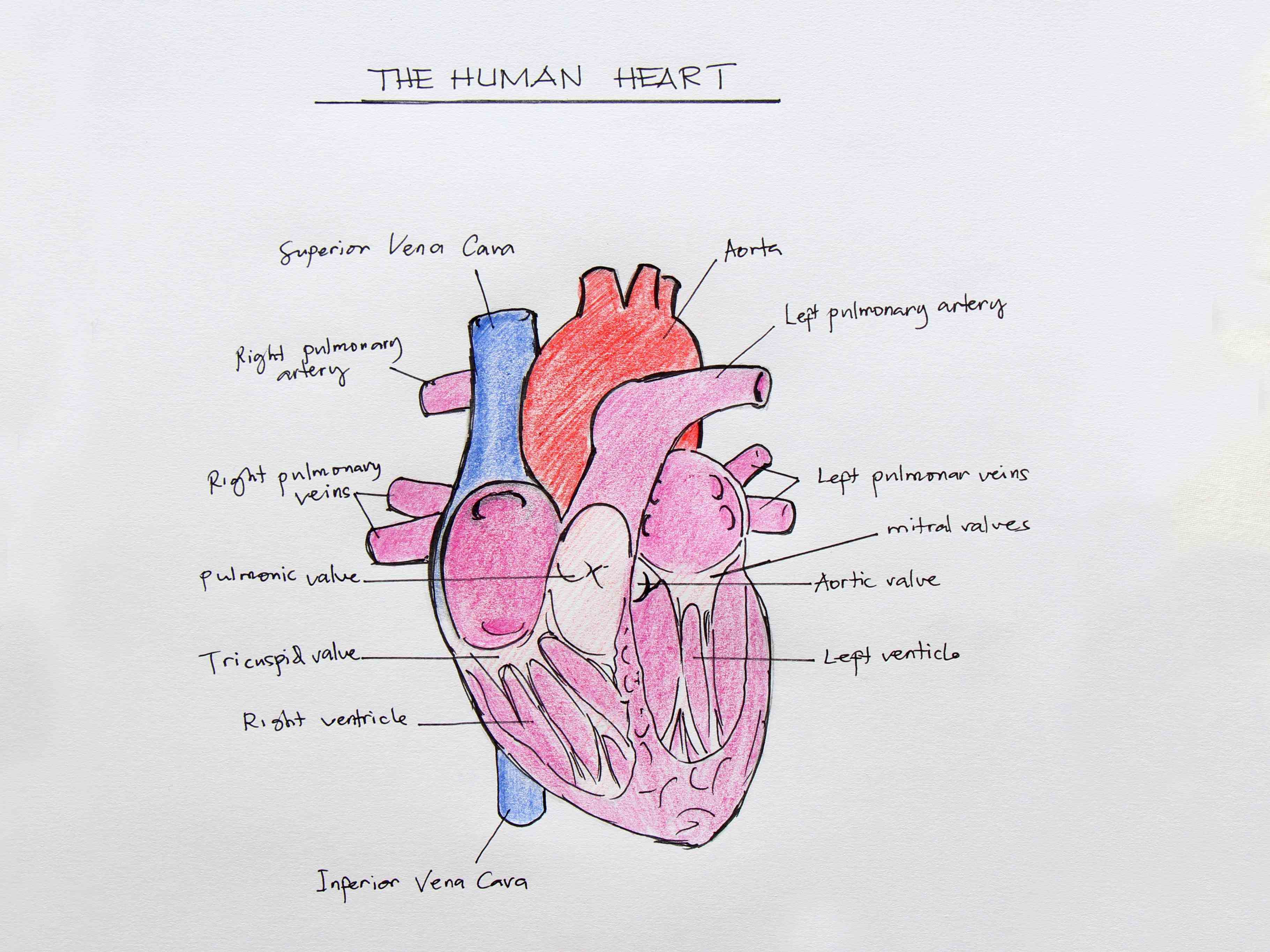 Heart Internal Structure Diagrams Pictures Wallpapers
