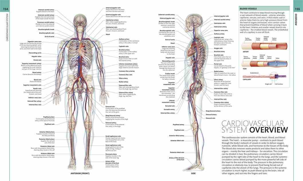 picture of the human anatomy human anatomy pictures medicinebtg com 6234