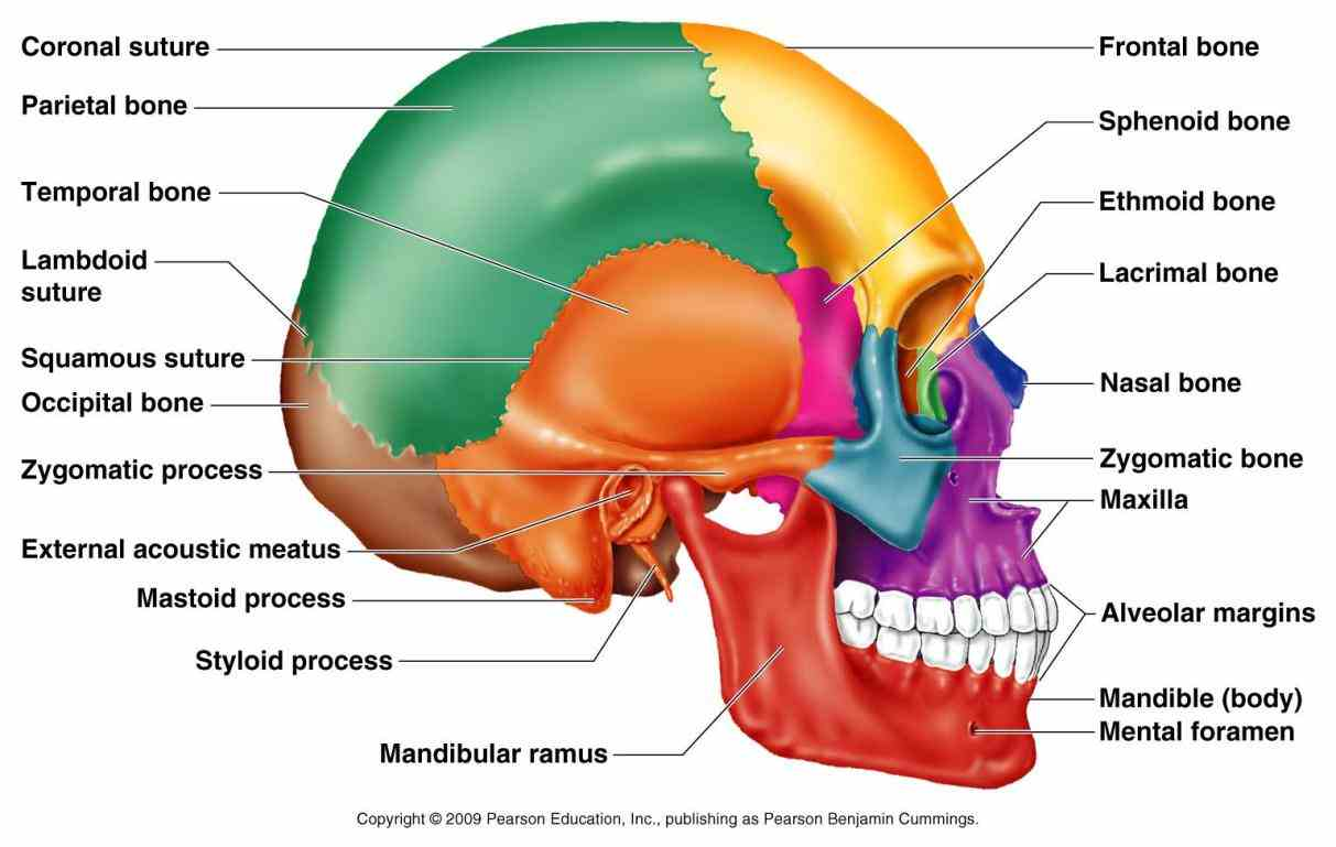 Labeled Diagrams Of Skull Pictures Wallpapers