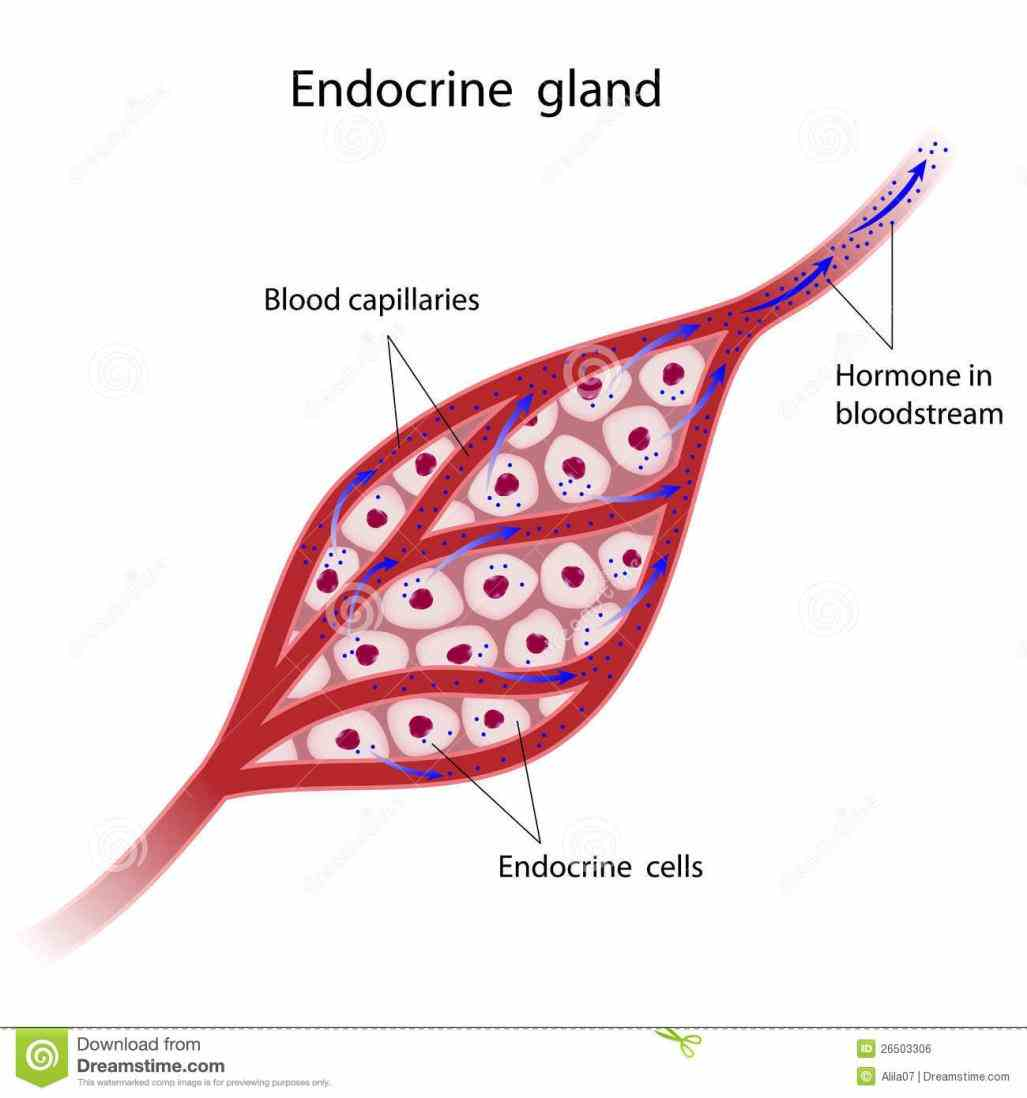 Endocrine Glands Structure And Function