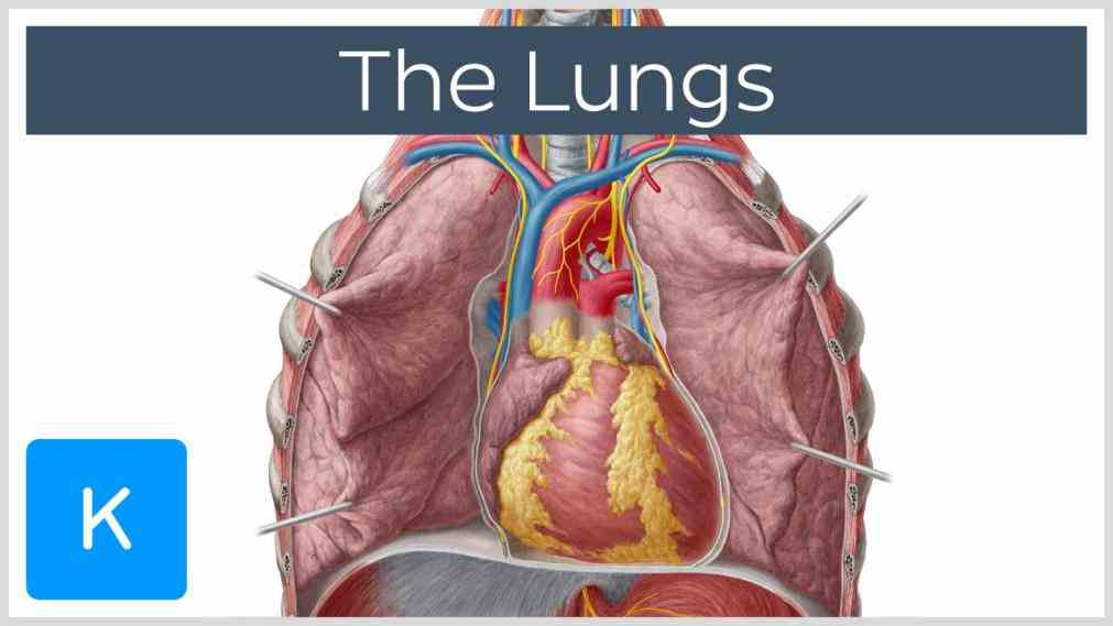 Location Of The Lungs In The Body Pictures Wallpapers