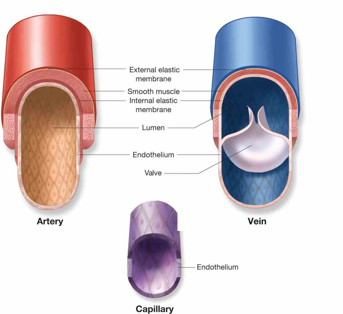 capillaries structure functions there are main kinds of blood vessels – carry away a Arteries Veins And Capillaries Structure