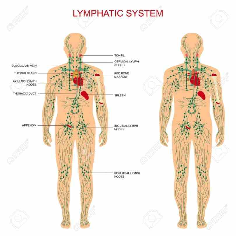 Anatomy of the lymph nodes