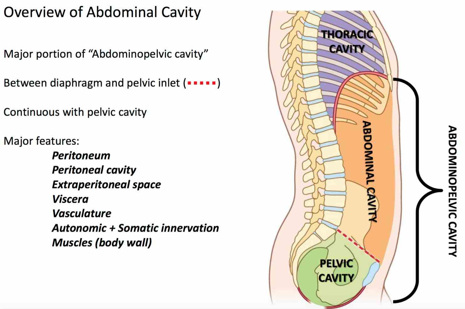 Picture Of Abdominal Cavity Pictures Wallpapers