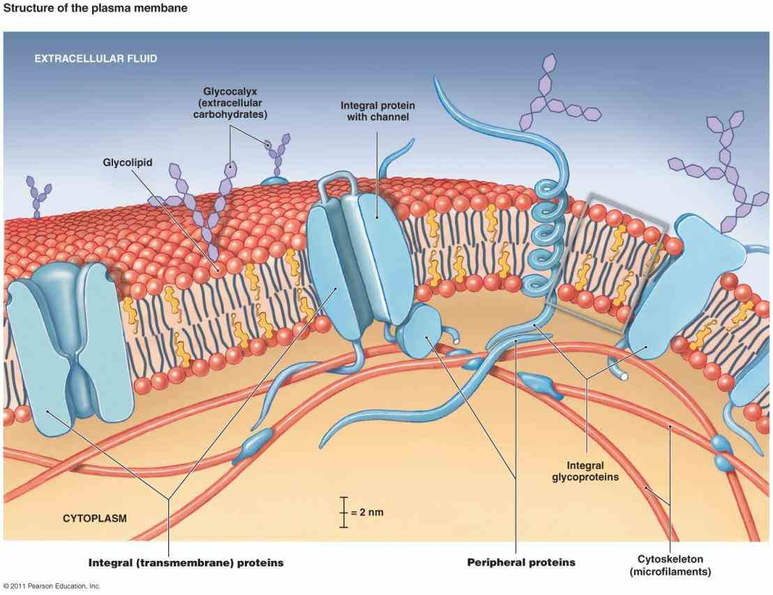 Glycoproteins In The Cell Membrane