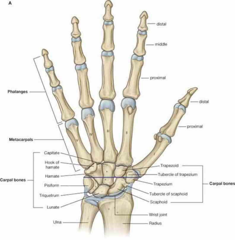 Anatomy Of The Human Wrist Pictures Wallpapers
