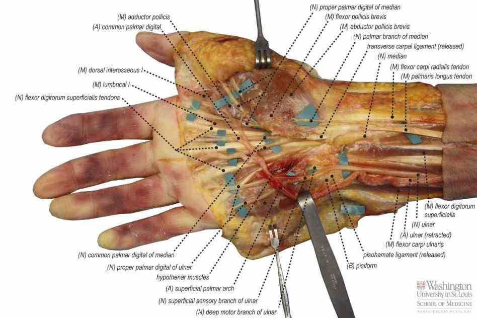 Anatomy Of The Hand Nerves Pictures Wallpapers