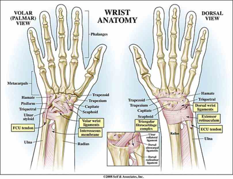 de Anatomy Of The Human Wrist jun the wrist is a complex joint that bridges hand to forearm