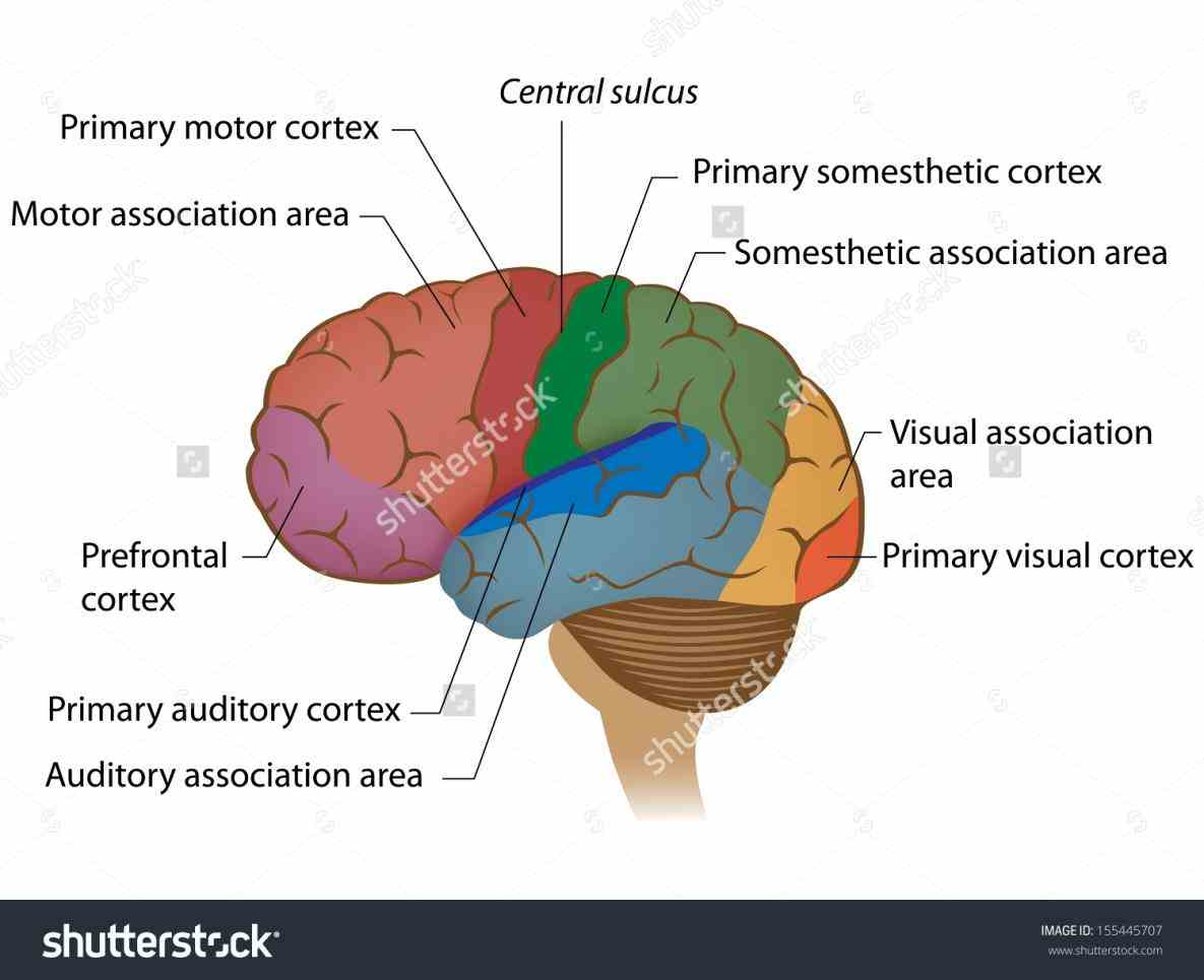 de Labeled Areas Of The Brain fev webmds brain anatomy page provides a detailed diagram and definition of