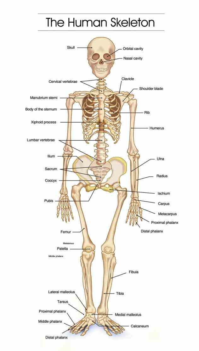 Labelled Human Skeleton Pictures Wallpapers