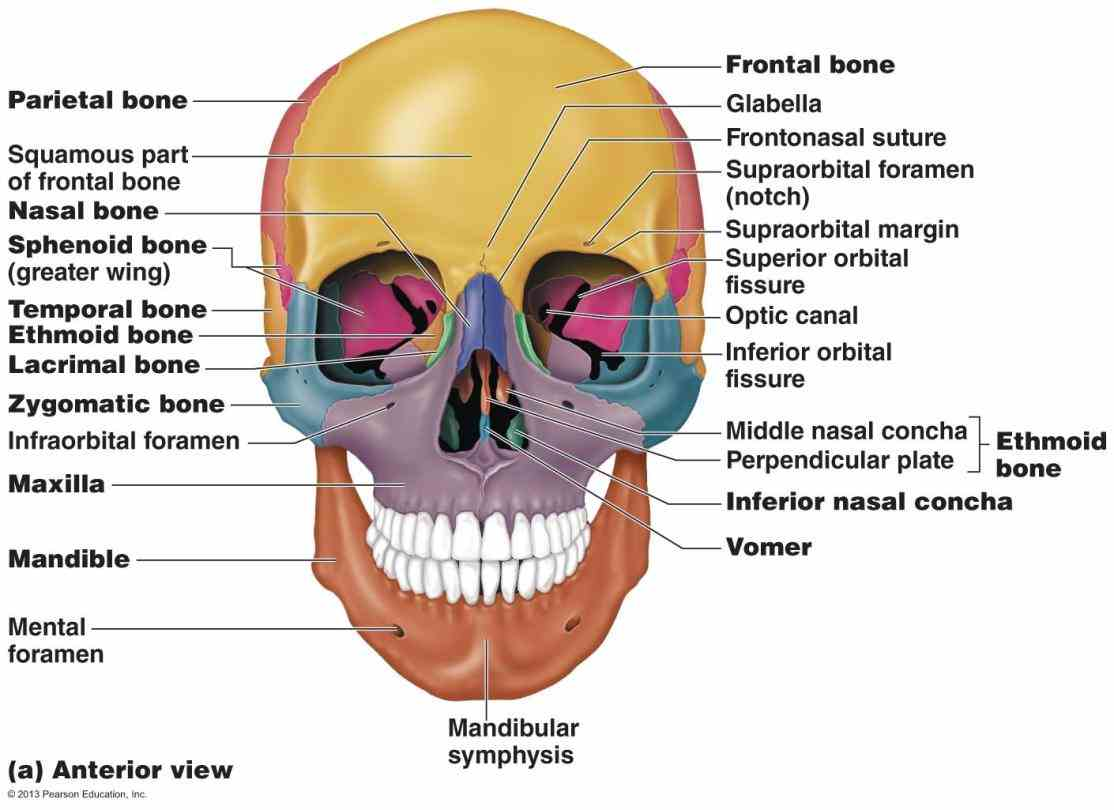 diagrams tutorials Anatomy The Bones Of The Skull and quizzes on the cranial facial bones of skull using interactive
