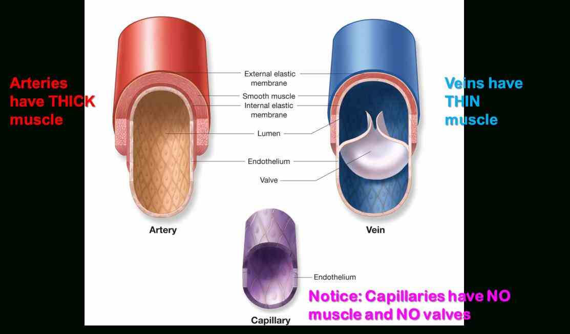 arteries veins and capillaries structure and function