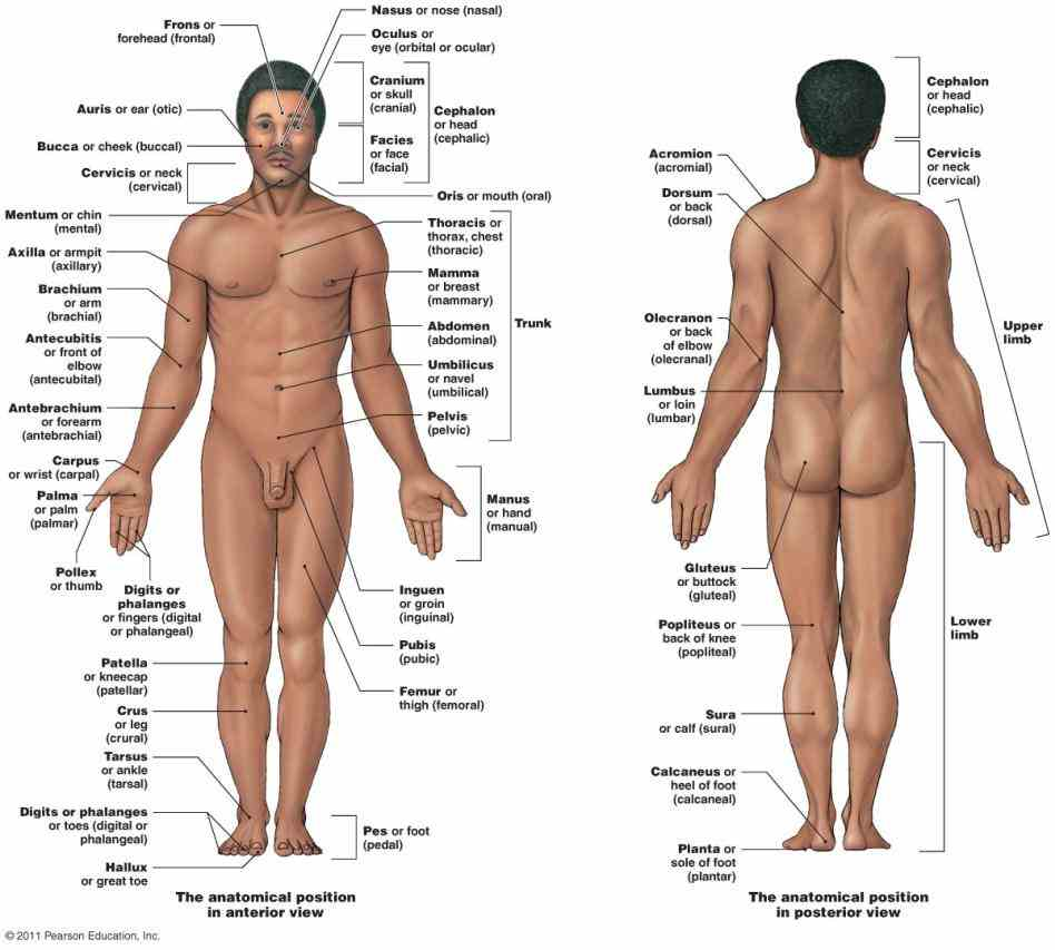 Dorsal Region Of The Body Anatomy Pictures Wallpapers