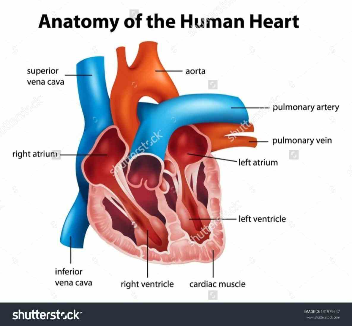 Heart interior view