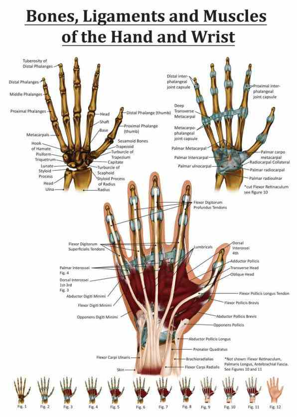 eight forming proximal skeletal segment hand; d Anatomy Of The Human Wrist anatomy tutorial on the joints of wrist