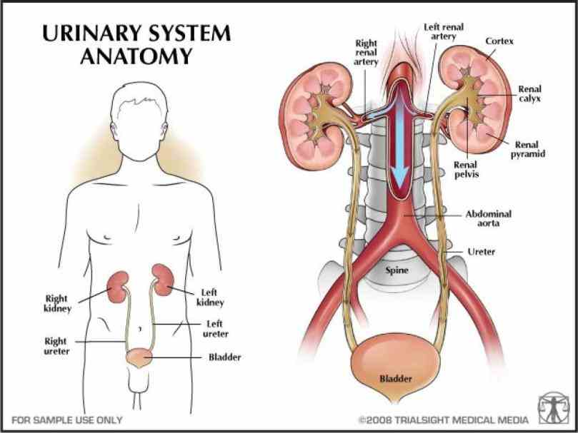 Anatomy Of The Renal System Pictures Wallpapers