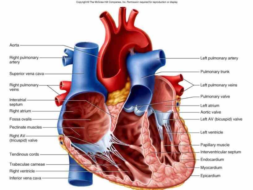 Interior Of The Heart Diagram | MedicineBTG.com