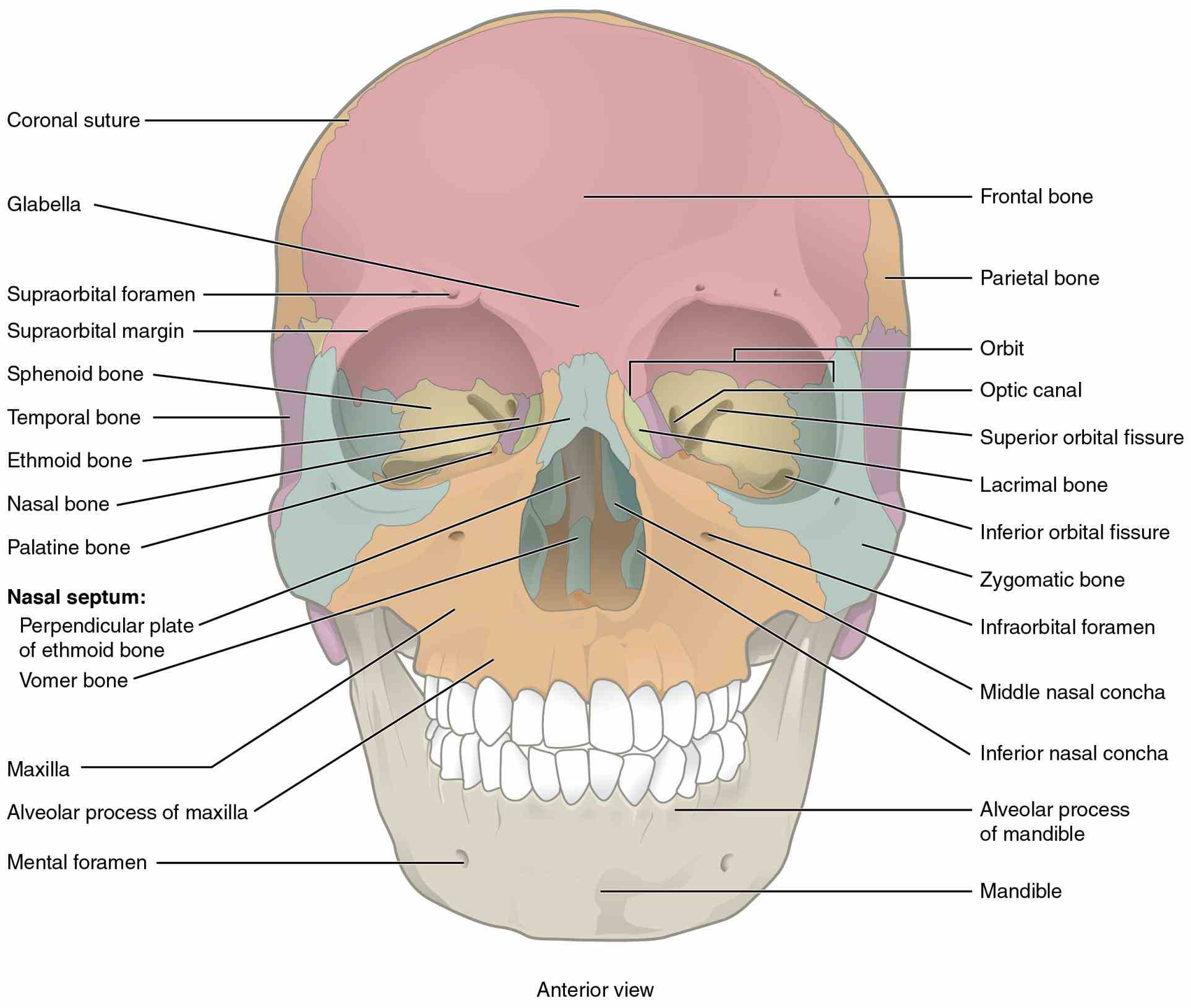 facial bones case quizzes Anatomy The Bones Of The Skull on the anatomy of skull using interactive animations and