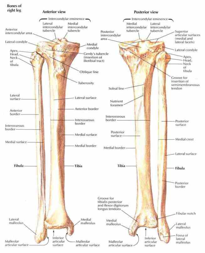 fibula neck diagram anatomy tibia and fibula diagram | medicinebtg.com tibula fibula diagram #9