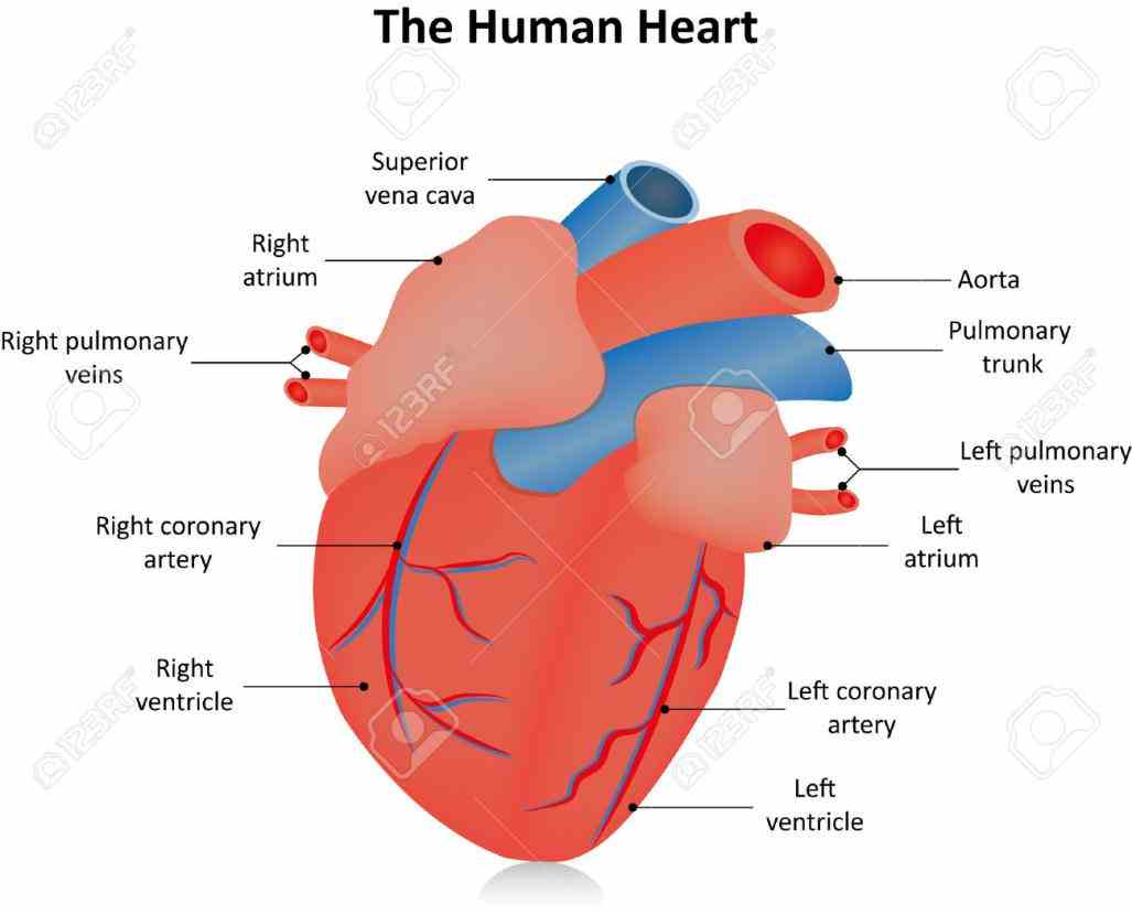 find Image Of The Heart Labeled free pictures photos ...