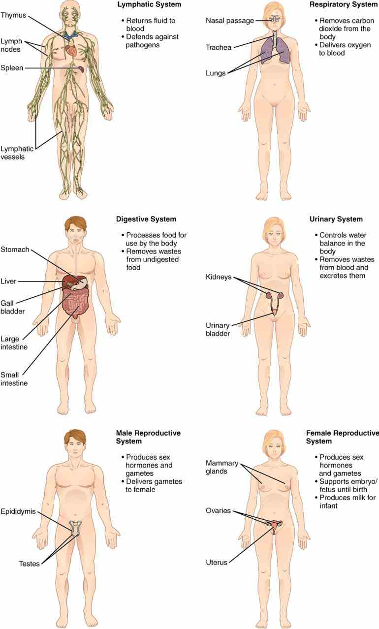 Major Organs Of The Body And Their Functions Pictures Wallpapers