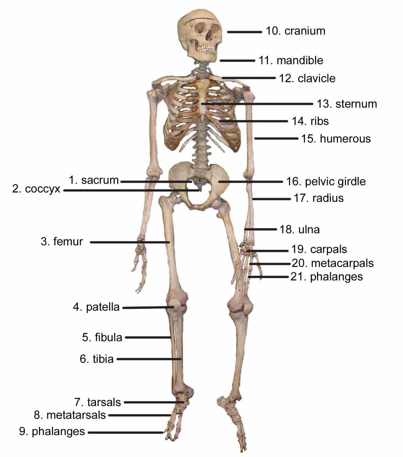 Major Bones Of The Human Skeleton Anatomy Pictures Wallpapers