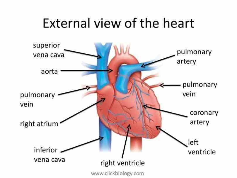 functions there are main kinds of blood vessels – carry away a Arteries Structure And Function secondary school revision