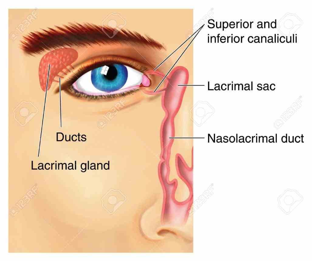 gland is ir Anatomy Of Lacrimal Gland para gross anatomy the lacrimal gland is roughly almond sized located anteriorly