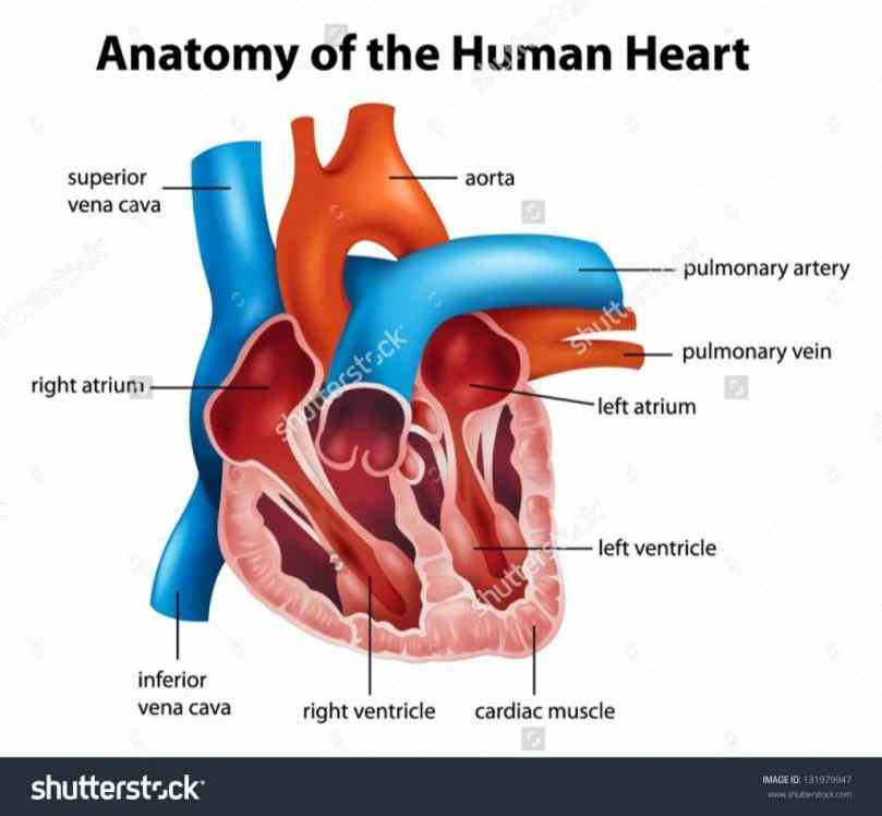 Images Of Internal Structure Of Heart Pictures Wallpapers