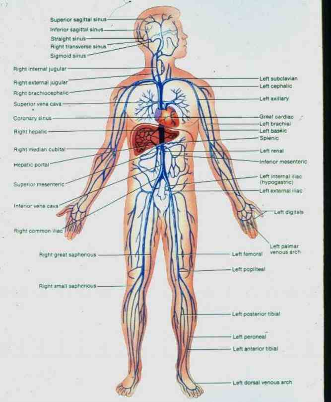 Human Arteries And Veins Of The Heart Pictures Wallpapers