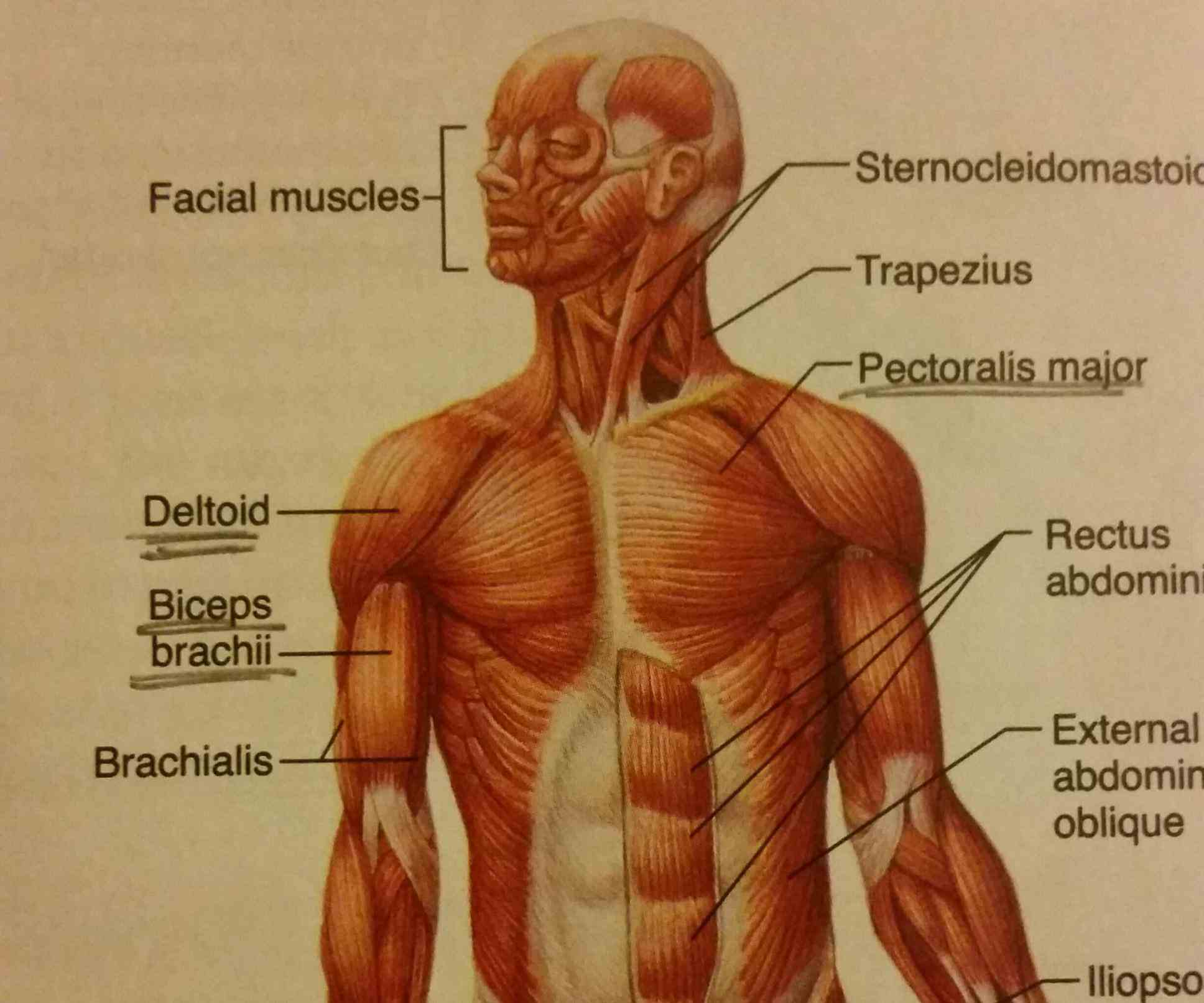 Muscular System Heat Production Pictures Wallpapers