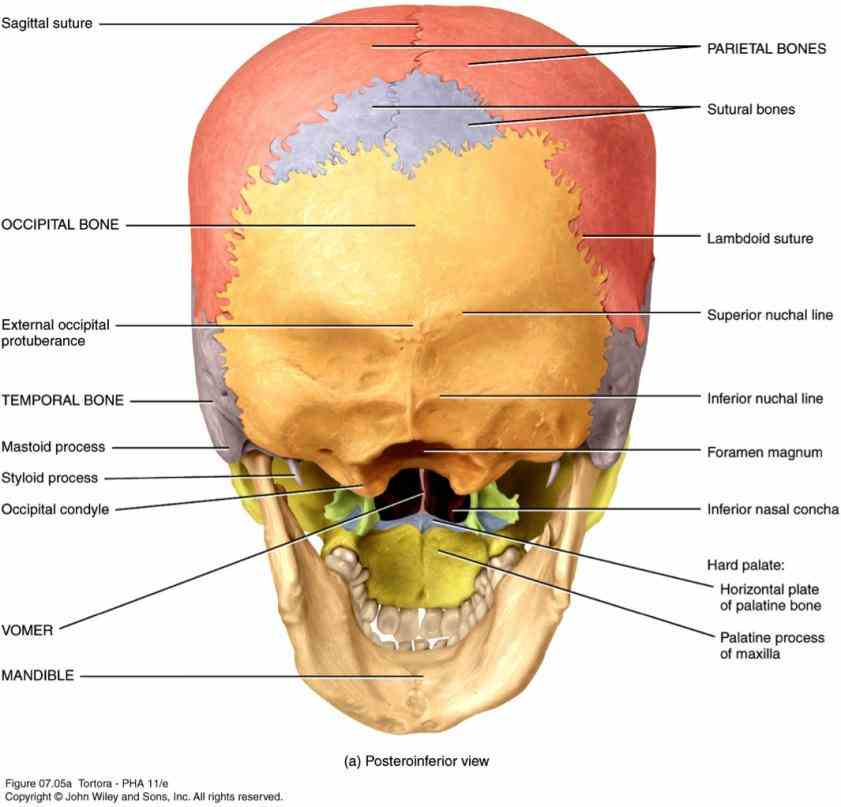important functions in this regard contains brain as well the Anatomy The Bones Of The Skull skull is a