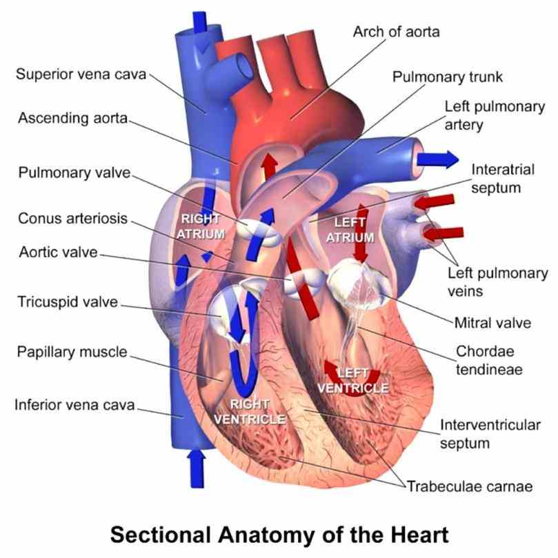 Arteries Of Heart With Diagram Pictures Wallpapers