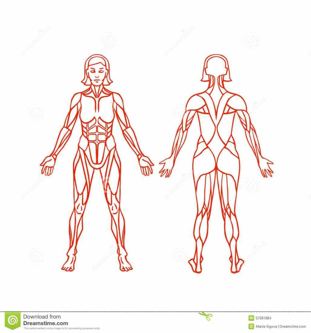 interactive pictures and descriptions thousands objects in the body the Female Muscular System Diagram Anatomy muscular system is comprised