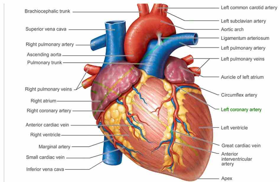 is a great presentation and breakdown of how the heart supplied with blood arteries Arteries Of Heart With Diagram