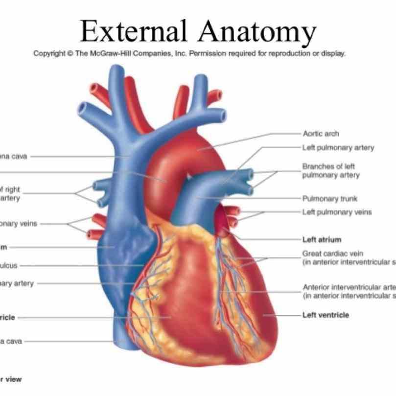 External Structures Of The Human Heart   MedicineBTG.com