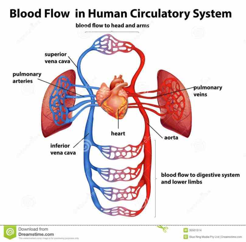Major Components Of The Cardiovascular System ...