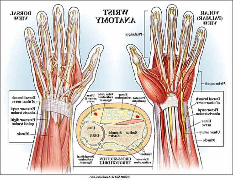 it actually collection of multiple bones and joints there Anatomy Of The Human Wrist are eight small carpal bones
