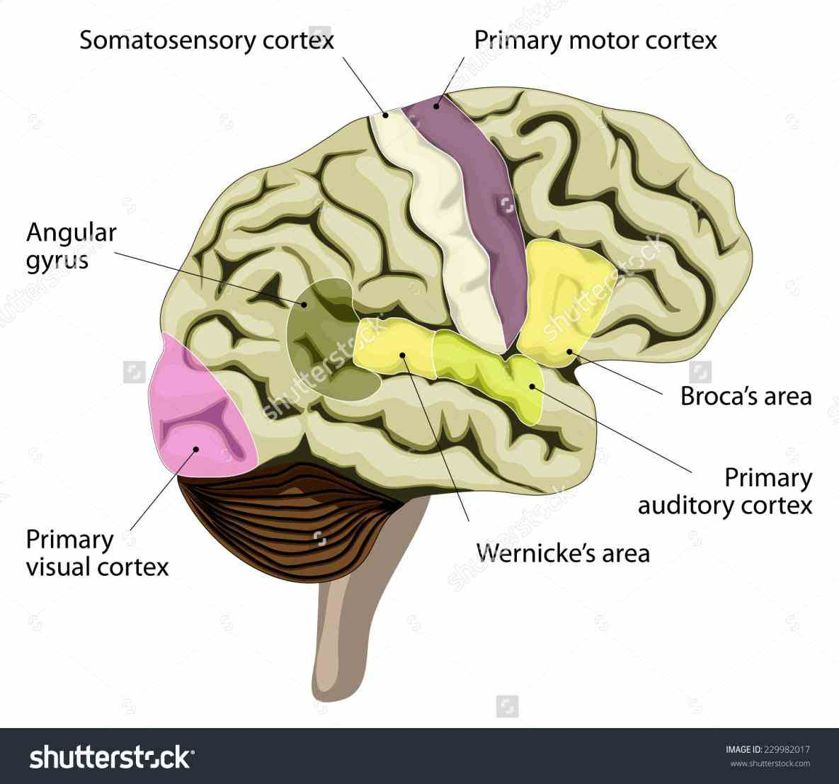 Labeled Areas Of The Brain Pictures Wallpapers