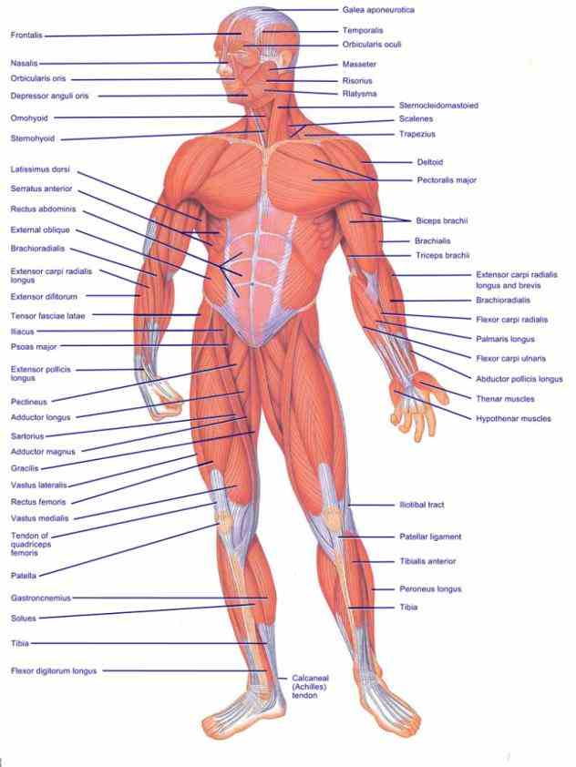 Labelled Muscled Skeleton Pictures Wallpapers